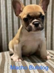 Título do anúncio: Machinhos de Bulldog Francês vacinados