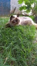 Venda de gatil - gatos persas adultos
