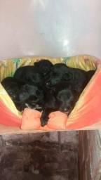Vendo filhotes de pastor alemão belga