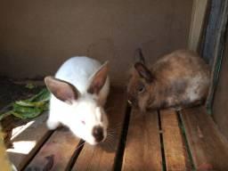 Venda de coelhos Macho e Filhotes