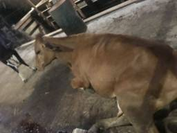 Título do anúncio: Vendo Vacas e novilhas