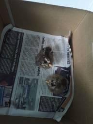 Título do anúncio: Filhotes de galinha sedosa