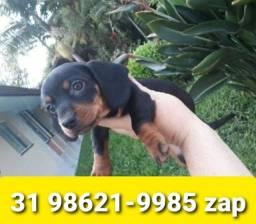 Título do anúncio: Cães Filhotes Miniaturas em BH Basset Beagle Shihtzu Poodle Yorkshire Maltês