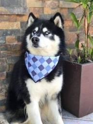 Título do anúncio: Husky siberiano procura namorada