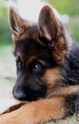 Lindos pastor alemão filhote com pedigree e vacina importada