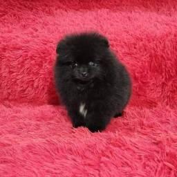 Fêmea Black de Lulu da Pomerania