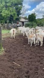 Título do anúncio: 30 vacas pra vender