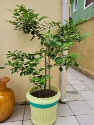 Título do anúncio: Vaso com planta frutífera de Limão