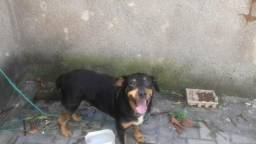 Filhote de Rottweiler 6 meses de idade