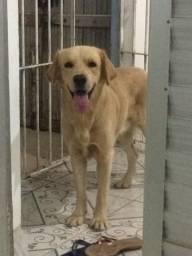 Labrador procura uma namorada