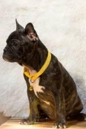 Bulldog Francês fêmea, 3 meses filha de pai Blue
