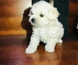 Femea de poodle mini toy branca