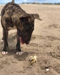 Bull terrier procurando namorada