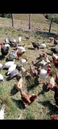 Ovo galado galinha caipira 12 reais a duzia