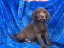 Labrador com pedigree e micro chipe