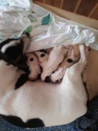 Cachorro pinscher 2