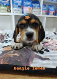 Linda beagle femea, venha conferir!