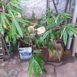 Mudas de bambu gigante - Porto Alegre - Rio Grande do Sul
