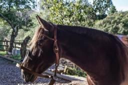 Cavalo Crioulo - castrado de patrão!