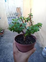 Bonsai ( mine jade )