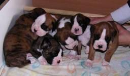 Boxer, lindos filhotinhos!
