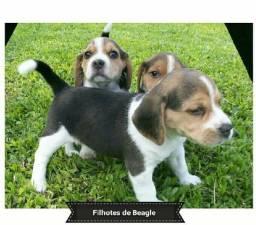 Machos e Fêmeas Beagle Filhotes Pedigree