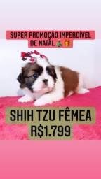 Super Promoção! Lindíssima Shih Tzu fêmea R$1.799 contrato garantia