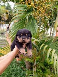 Presenteie quem você ama - - Rottweiler