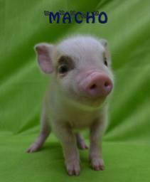 Mini porquinho o mini Pig é muito fofo