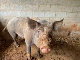 Porcos para Ceia de Natal
