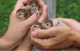 Angolinhas (Filhotes de galinha Angola)