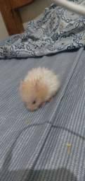 Hamsters Sírios peludinhos e normal
