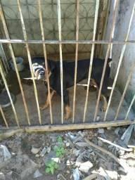 Doa-se cachorro Rottweiler