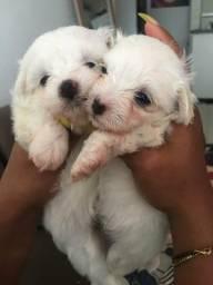 Vendo filhote de Maltês por R$ 1.200,00 reais