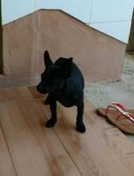 Vendo pinscher com Chihuahua