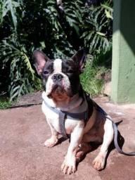 Macho bulldog Francês para cruza