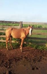 Égua  nova sem domar meio sangue , muito boa