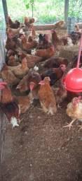 Frango caipirão- galinha - galo - caipirão