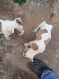 Pitbull american terriers