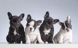Bulldog Francês fêmea com garantia de vida e pureza em contrato