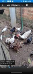 Vende se 6 patos por 40 reais cada um e galinha indiana por 70 reais cada uma