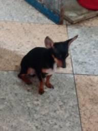 Vendo este cachorro  pinscher 1puros