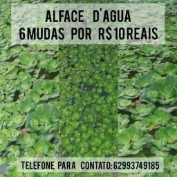 Plantas aquática