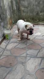 Bull dog inglês