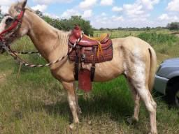 Cavalo manga larga mineiro marchador 7 anos