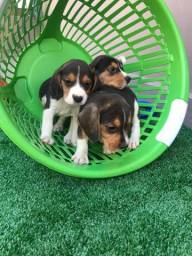 Beagle com pedigree e microchip
