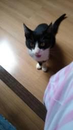 Doação de gato macho vacinado
