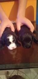 Vendo lindos cachorrinhos marca poodle
