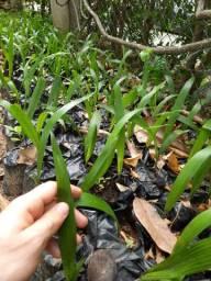 Muda de jerivá palmeira
