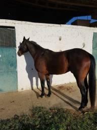 Cavalo Quarto de Milha- também negocio em reboque para cavalo
